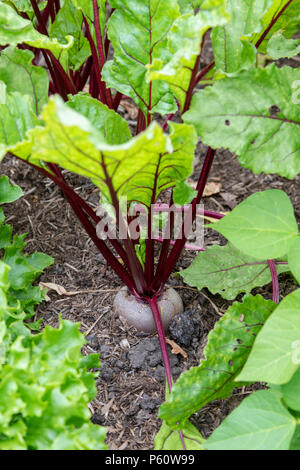 Beetroot Subeto in a vegetable patch. England - Stock Photo