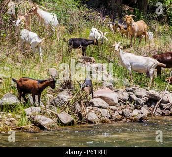 Herd of domestic goats along the Arkansas River; Salida; Colorado; USA - Stock Photo