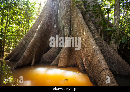 A Sumauma tree (Ceiba pentandra) with  more than 40 meters of height, flooded by the waters of  Negro river in the Amazon rainforest. - Stock Photo