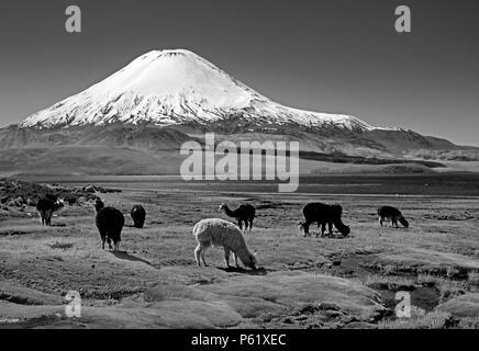 ALPACAS graze below PARINACOTA  (20,800 ft) on the shores of LAGO CHUNGARA - LAUCA ATIONAL PARK, CHILE - Stock Photo
