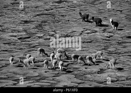 A herd of wild VICUNYA & ALPACA graze on the BOFEDALES (swampy grassland) of LAUCA NATIONAL PARK, CHILE  - Stock Photo
