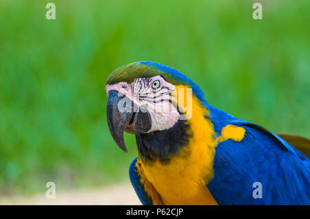 Beautiful Blue-and-yellow Macaw (Ara ararauna) in the Brazilian wetland. - Stock Photo