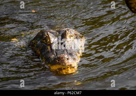 Beautiful Jacare (Caiman yacare) in the Brazilian wetland. - Stock Photo