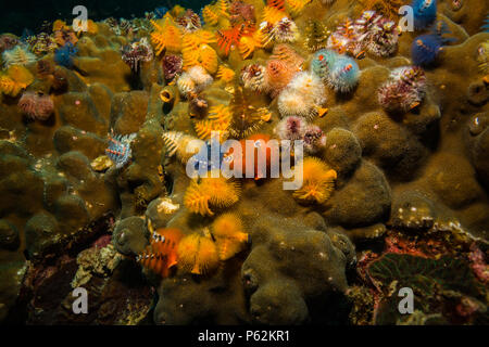 Christmas tree worms on a reef near Kot Tao island - Stock Photo