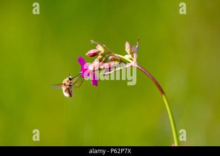 Bee - bombylius major on green background. Pollinate flower. Bee with long proboscis flies on flower Stock Photo