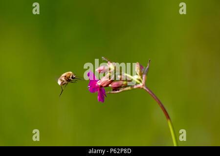 Bee - bombylius major on green background. Pollinate flower. Bee with long proboscis flies on flower - Stock Photo
