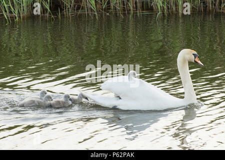 Mute Swan mother with babies, cygnets, swimming with babies around her, one baby riding on her back, Cygnus olor, River Ant, Norfolk Broads, UK, May - Stock Photo