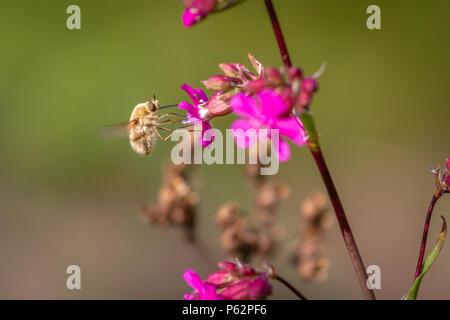 Bee - bombylius major on green background. Pollinate flower. Bee with long proboscis flies on flower