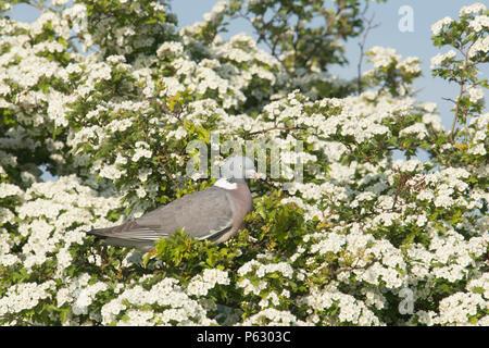 Wood Pigeon, Columba palumbus, in Hawthorn tree, Crataegus monogyna, in blossom, May Tree, May blossom, Norfolk, UK. May - Stock Photo