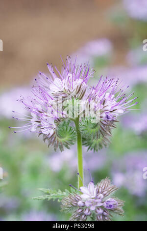 Phacelia tanacetifolia growing in an English garden. - Stock Photo