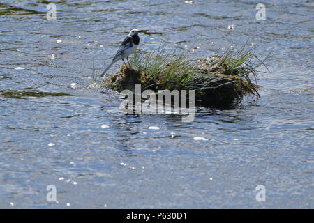 Island life; Pied Wagtail, Motacilla alba, on a grass island in the Helmsdale river; Highlands Scotland. UK. - Stock Photo