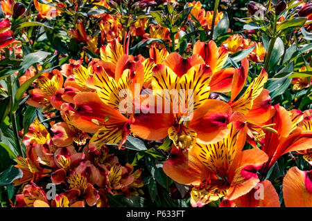 Peruvian lily ,Alstroemeria Indian Summer Tesronto a herbaceous perennial with funnel-shaped  ,orange and yellow flowers - Stock Photo