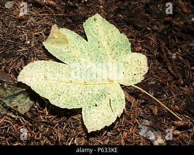 Fallen maple leaf covered with big rain drops. Leaf on the needles ground after rain - Stock Photo