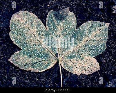 Shine rain drops on fallen maple leaf. Reflection in drops. Big yellow green maple leaf broken by strong wind. Stock Photo