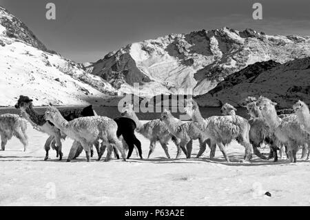 A herd of snow dusted ALPACAS pass by LAGUNA JATUN PUCACOCHA - AUZANGATE TREK, PERUVIAN ANDES - Stock Photo