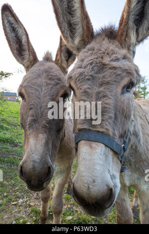 Portrait of two cute donkeys looking in the camera. - Stock Photo