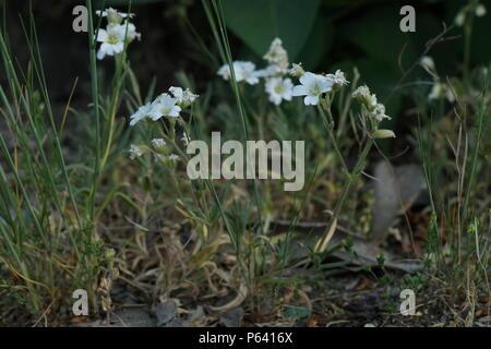 Cerastium tomentosum (Hornkraut) (Snow-in-Summer) (Céraiste cotonneux) - Stock Photo