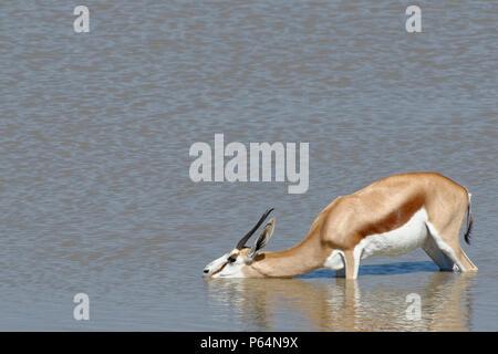 Springbok (Antidorcas marsupialis), adult female, standing in water, drinking, Okaukuejo waterhole, Etosha National Park, Namibia, Africa - Stock Photo