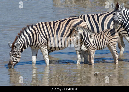 Burchell's zebras (Equus quagga burchellii) with zebra foal, standing in water, drinking, Okaukuejo waterhole, Etosha National Park, Namibia, Africa - Stock Photo