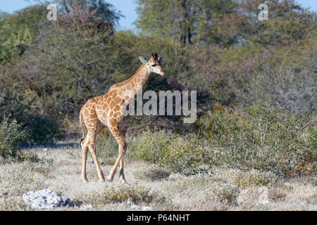 Namibian giraffe or Angolan giraffe (Giraffa camelopardalis angolensis), young animal walking, Etosha National Park, Namibia, Africa - Stock Photo