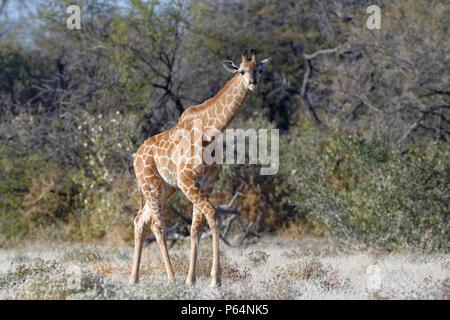 Namibian giraffe or Angolan giraffe (Giraffa camelopardalis angolensis), young animal walking, curious, Etosha National Park, Namibia, Africa - Stock Photo