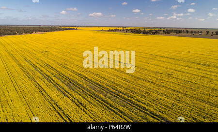 Aerial view of bright yellow canola crops with blue sky on farmland in Narromine, New South Wales, Australia - Stock Photo