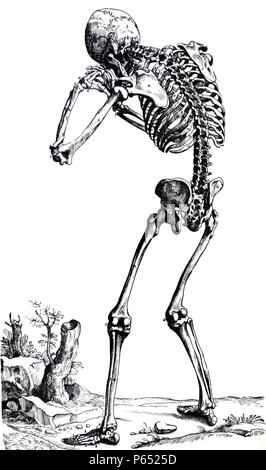 The Plates from the First Book of the De Humani Corporis Fabrica by Andreas Vesalius, (1514-1564) Plate 23 - The bones of the human body presented from the posterior aspect. - Stock Photo