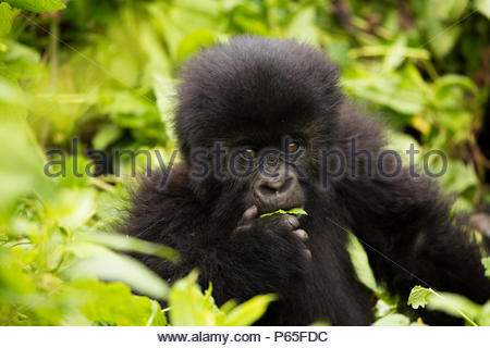 Playful baby Mountain Gorilla in Volcanoes National Park, Rwanda - Stock Photo