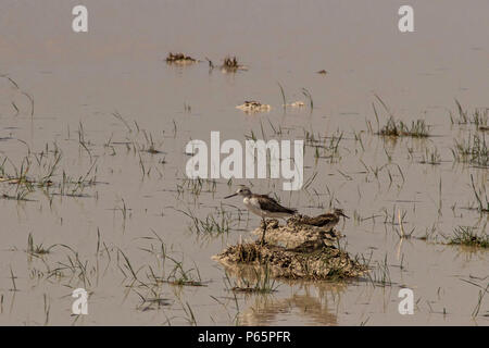 Female Black Winged Stilt and young - Stock Photo