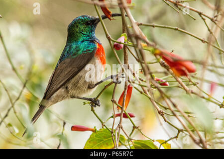 Greater Double-Collared Sunbird Cinnyris Afer perched on twig - Stock Photo