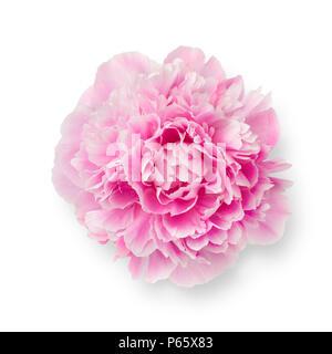 Single fresh pink peony flower isolated on white background