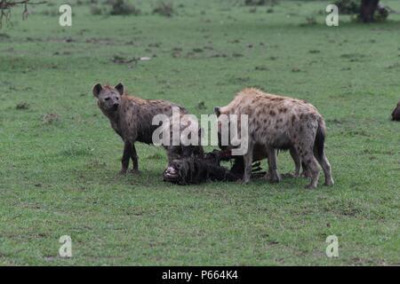 Spotted Hyena. Large clan of 20+ hyenas eating the remains of a wildebeest. Olare Motorogi Conservancy, Maasai Mara, Kenya, East Africa - Stock Photo