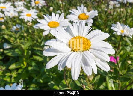 Leucanthemum x superbum or Shasta daisies, large daisy-like flower growing in Summer in West Sussex, England, UK. Shasta daisy in Summer. - Stock Photo
