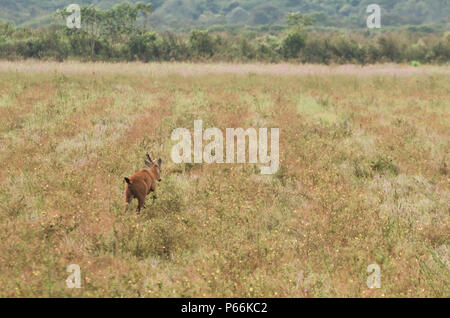 Lizard of the Pantanal (Blastocerus dichotomus) in the Brazilian Pantanal - Stock Photo