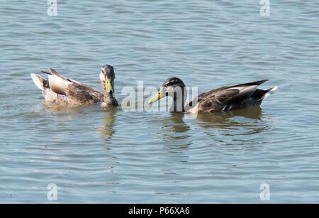 Mallard duck in Male eclipse plumage - Stock Photo