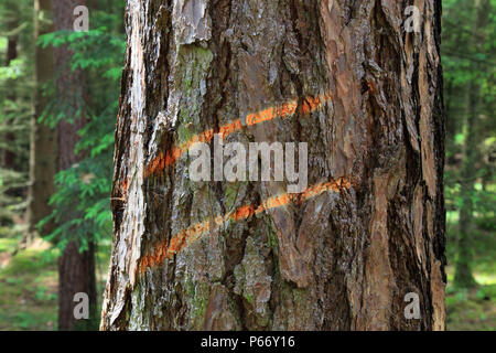 Marking on a tree trunk for logging - Stock Photo