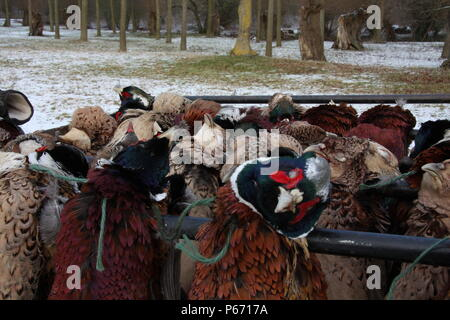 Phasianus colchicus, Pheasants on the shoots game cart, hung in braces, to cool down, with a light covering of winter snow on the ground. - Stock Photo