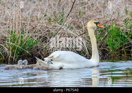 A female mute swan (Cygnus olor) swims with her gray-colored babies (cygnets) in a wetland near Culver, Indiana - Stock Photo