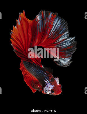 siamese fighting fish, betta fish 'Half moon' isolated on black background - Stock Photo