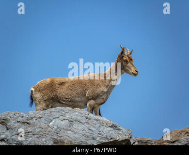 Mountain goat on the top of the rock - Stock Photo