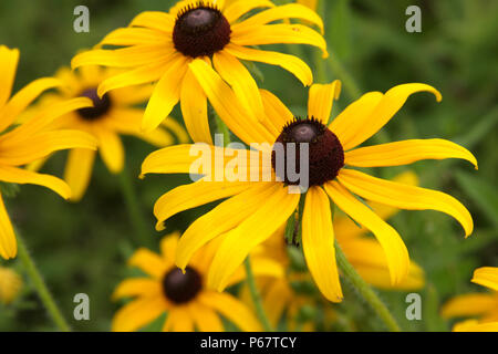 Echinacea paradoxa- Yellow coneflower - Stock Photo