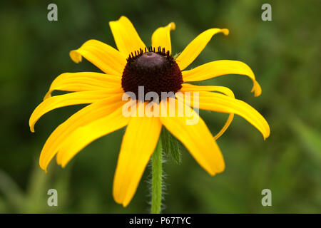 Close up of Echinacea paradoxa- Yellow coneflower - Stock Photo