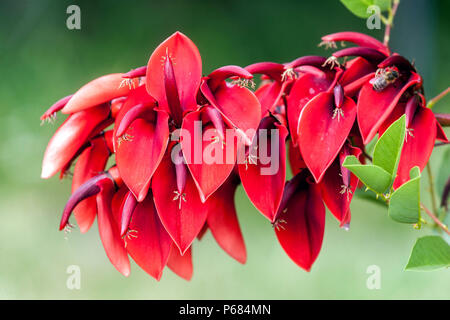 Cockspur coral tree, crying baby, Erythrina crista-gallii, Flower bokeh - Stock Photo