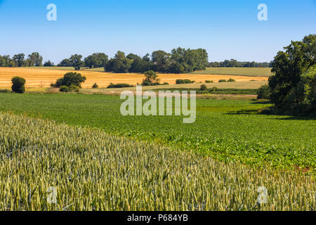 Different arable crops. Foreground - wheat, middle - sugar beet, yellow field -barley and 2 upper right fields more wheat. Hoxne, Suffolk, UK. - Stock Photo