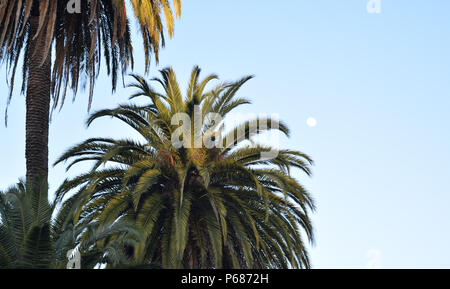 A mature pair of canary island date palm trees soak up the last rays of evening sunshine in the center of the city of Sebastopol, California - Stock Photo
