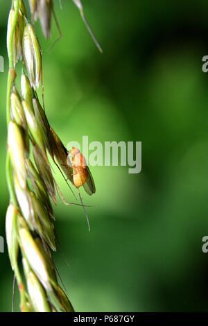 Drosophila Melanogaster   -   Fruit Fly in orange in nature - Stock Photo