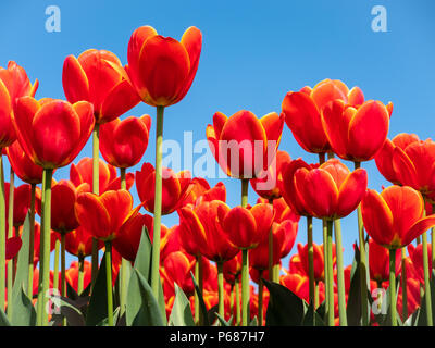 Field in the Dutch Northeast Polder with blooming red tulips on a sunny day in the spring against a blue sky - Stock Photo