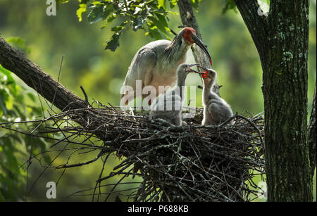 (180628) -- BEIJING, June 28, 2018 (Xinhua) -- A crested ibis feeds nestlings at Tianling Village of Yangxian County in Hanzhong City, northwest China's Shaanxi Province, June 2, 2018. Comprehensive progress has been made since the report delivered at the 18th National Congress of the Communist Party of China (CPC) in 2012 included ecological development as a major task in the country's overall plan and proposed building a 'beautiful China' as a grand goal.  (Xinhua/Tao Ming) (wyo)(zt) - Stock Photo