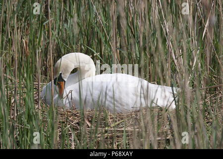 Cygnus olor, male cob mute swan on nest, partly hidden by reeds. - Stock Photo