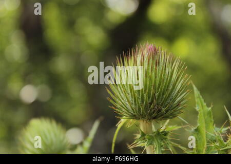 A Blossoming Spiky Dandelion - Stock Photo